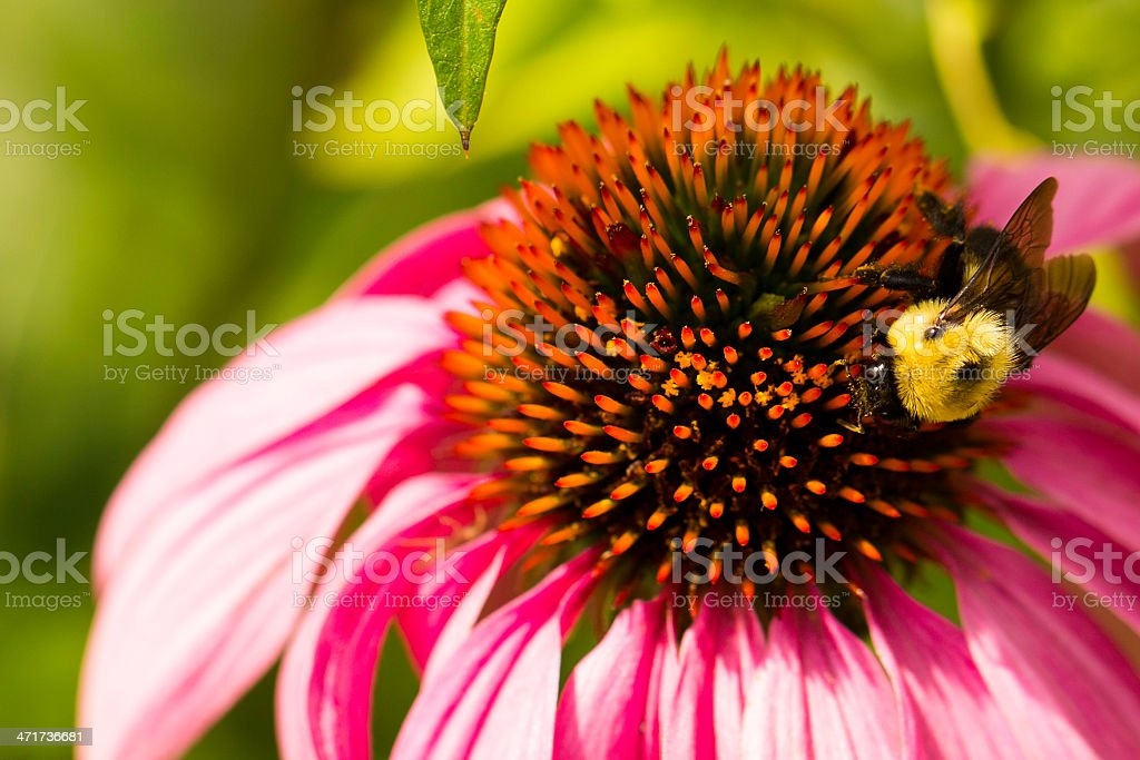 Pink coneflower royalty-free stock photo