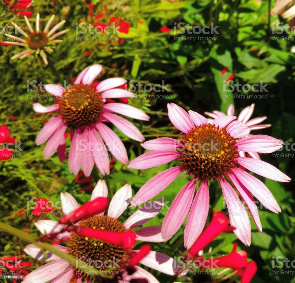 Pink Coneflowers, Clear Lake City, Texas stock photo