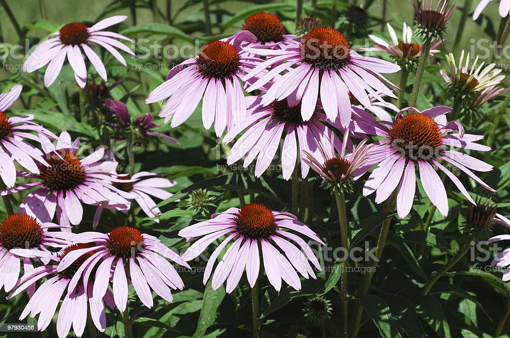 Pink Coneflowers royalty-free stock photo
