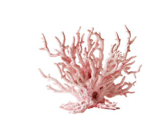 Pink coral against white background Pink coral isolated on white background coral cnidarian stock pictures, royalty-free photos & images