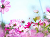 Close up petal pink cosmos blooming over clear blue sky. Flowers meadow for summer or spring background.