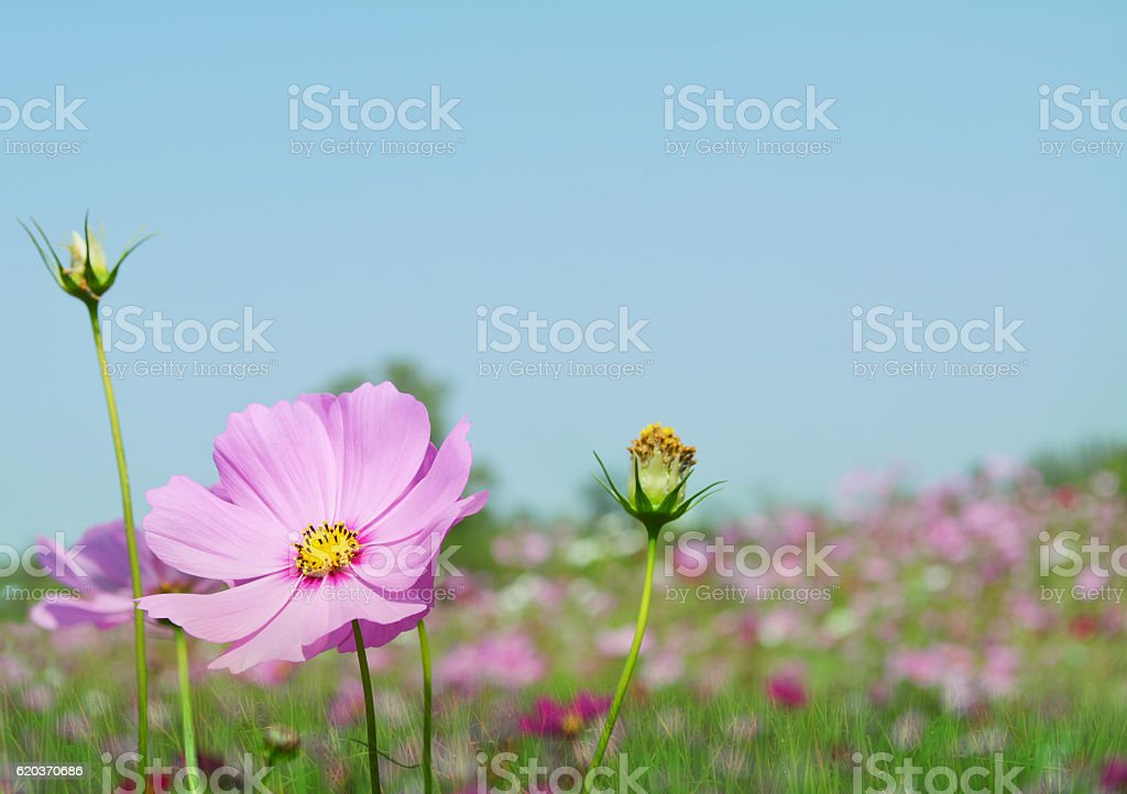 pink cosmos flower background foto de stock royalty-free
