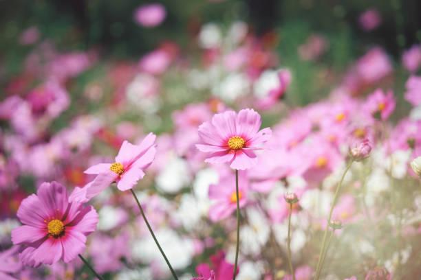 Pink cosmos flower blooming cosmos flower field beautiful vivid picture id1220048785?b=1&k=6&m=1220048785&s=612x612&w=0&h=ird72jdbty5vcf5zbxinpufapwkfjye1li5e r2gv0o=