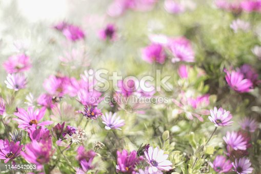 istock Pink cosmos flower in the meadow 1144542053