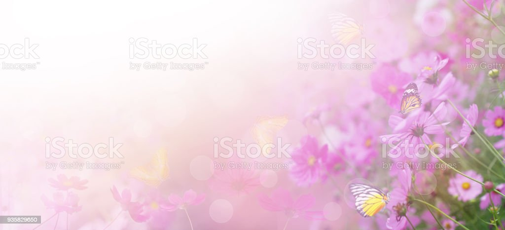 pink cosmos flower in the meadow stock photo