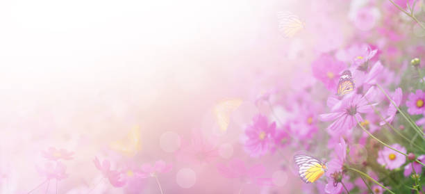 rosa kosmos blomman på ängen - pink sunrise bildbanksfoton och bilder