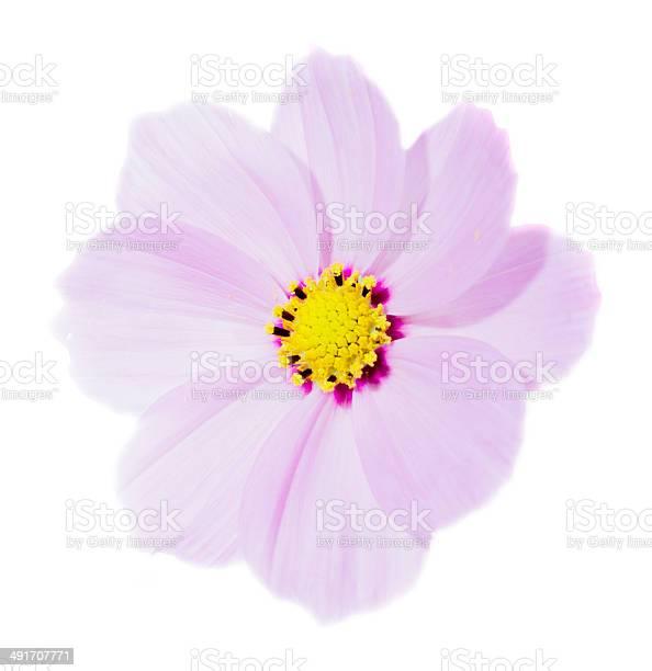 Pink cosmos flower picture id491707771?b=1&k=6&m=491707771&s=612x612&h=bdynu35zz acvpdhuummvnsxpwcccnny3tqupe5hhga=