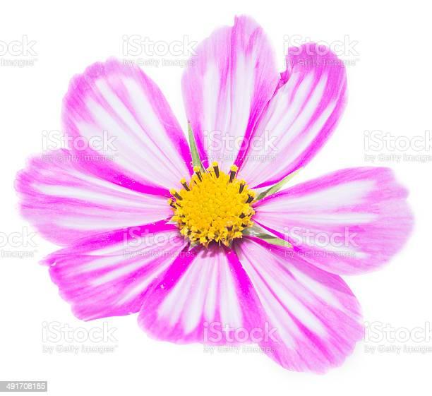 Pink cosmos flower picture id491708185?b=1&k=6&m=491708185&s=612x612&h=r5oq3yqdt2gtbemtwvftrd0svbvzyzqykl45hlrskcc=