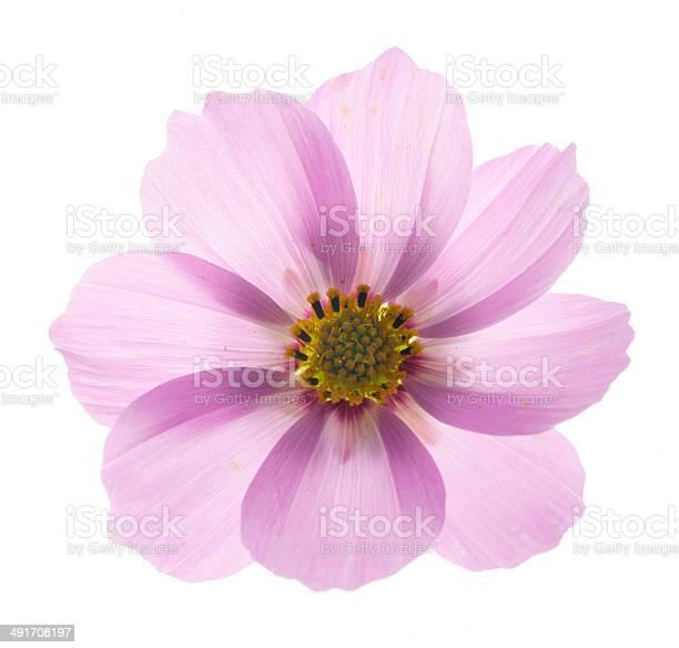 Pink cosmos flower picture id491708197?b=1&k=6&m=491708197&s=612x612&h=ik3wygrj1zdipygdtdopxh1f2opfqpcrawyzidpveew=