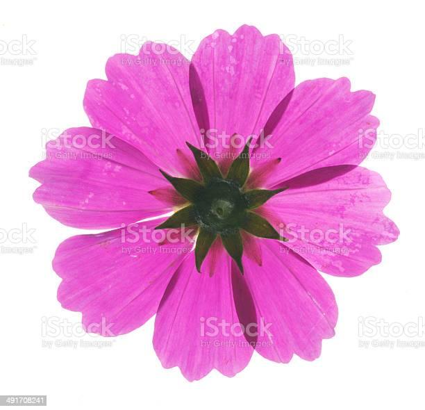 Pink cosmos flower picture id491708241?b=1&k=6&m=491708241&s=612x612&h=mb4wa8xc 4b0fk7 jp4da3ku9lym7deh0vo bt7ya8k=