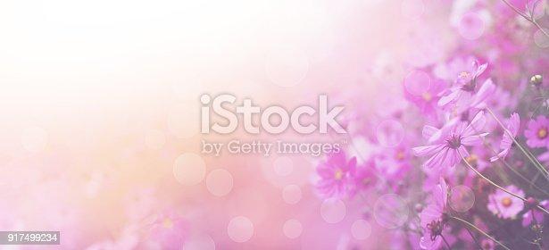 istock pink cosmos flower 917499234