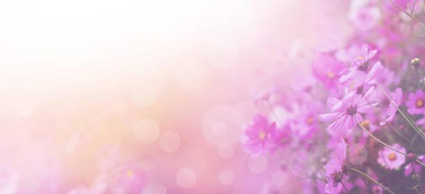 Pink cosmos flower picture id917499234?b=1&k=6&m=917499234&s=612x612&w=0&h=jtmx zw0clvbmdhygyf6 tfp5vcqvu39yb5tlpamyf0=