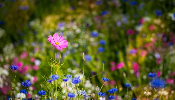 pink cosmos blomma som står ute på en sommar äng - summer sweden bildbanksfoton och bilder