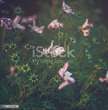 istock Pink cosmos flowers in early evening light 1166320738