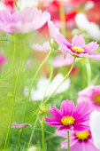 SONY pink cosmos flowers in the pak , flowers in the garden , pastel style