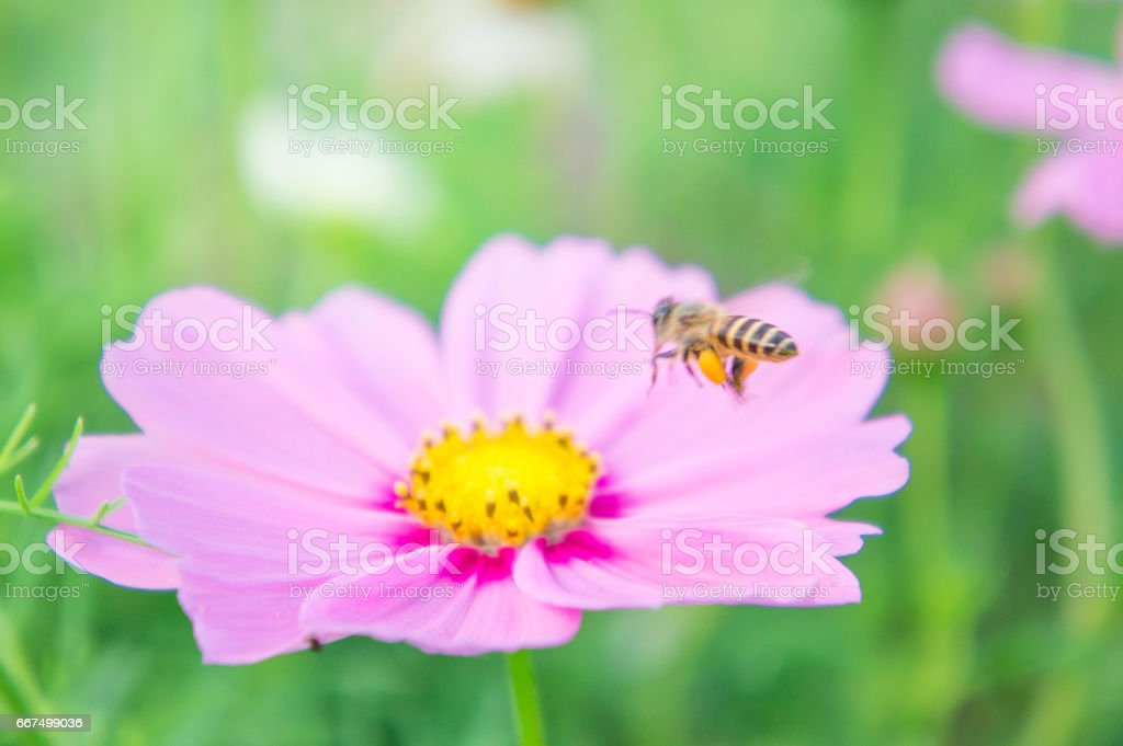 pink cosmos flowers in the pak , flowers in the garden , pastel style foto stock royalty-free