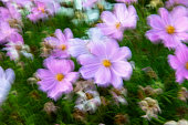 Pink cosmos flowers in Eastbourne