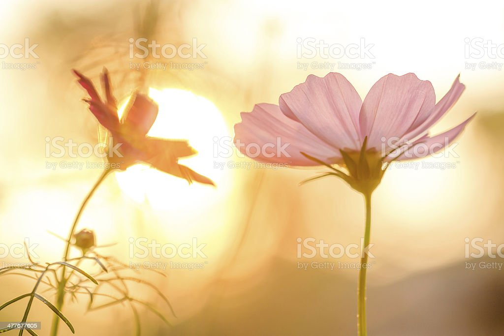 Pink cosmos on field in sunset time royalty-free stock photo