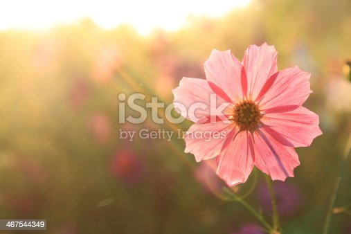 Pink Cosmos flower in the morning with sun light
