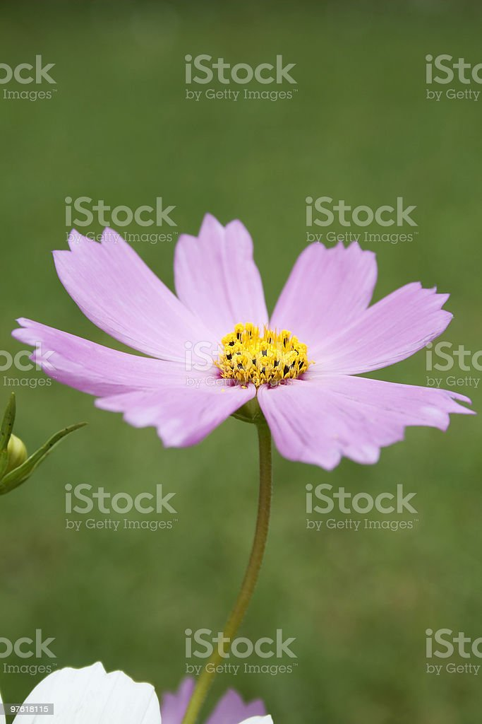 Pink cosmos royalty-free stock photo