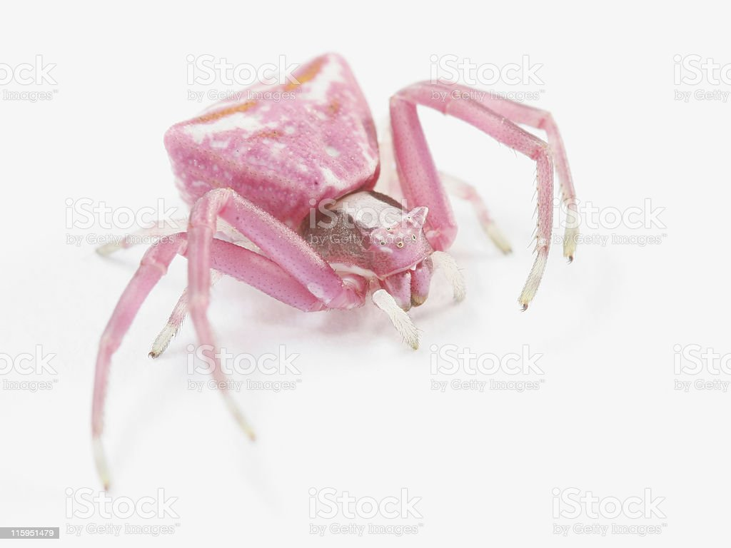 Pink crab spider 01 stock photo