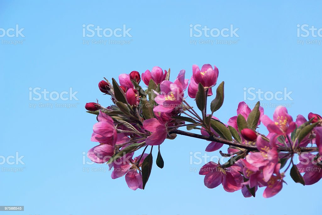 Pink Crabapple blosoms against a blue sky royalty-free stock photo