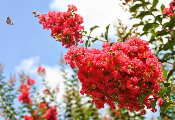 Pink Crepe Myrtle Flowers and Butterfly stock photo