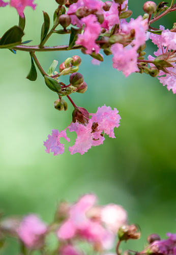 Closed-up of Pink Crepe myrtle flowers blooming in Spring against green background.
