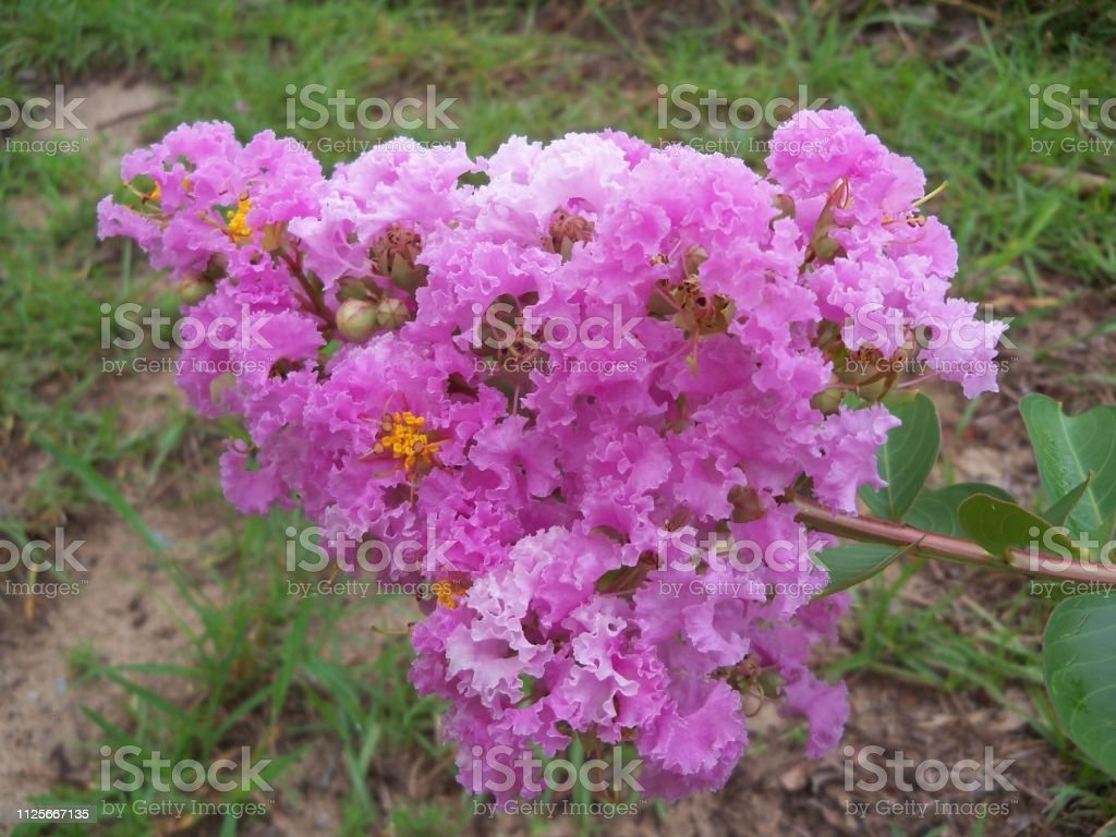Pink Crepe Myrtle Flowers stock photo