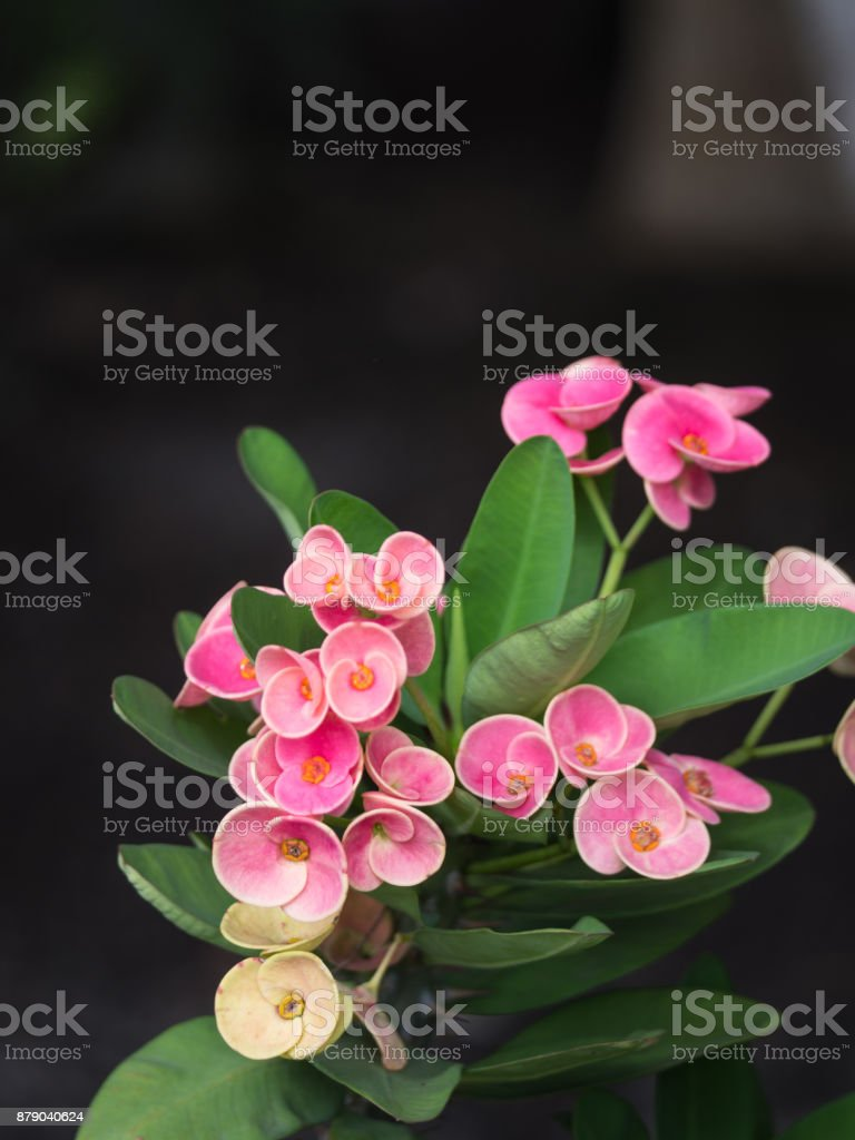 Pink Crown of Thorns Flowers in The House stock photo