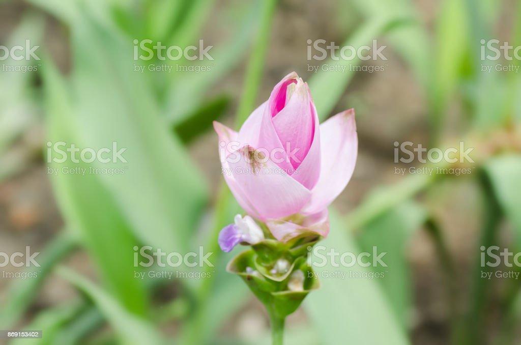 Rosa Curcuma Blume – Foto