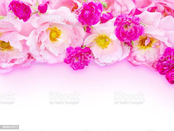 Pink curly roses and small vibrant pink roses on the white background picture id839342572?b=1&k=6&m=839342572&s=612x612&h=3kcome7vczdnl51ls2xesqyr1ypmfq04wuhtw1mqkm0=