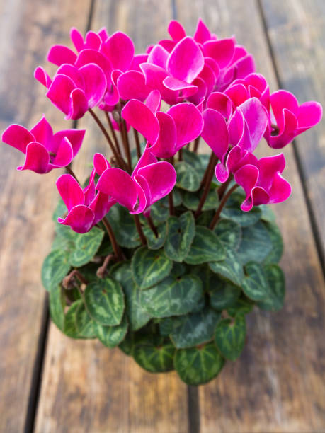 Pink Cyclamen flower in a pot on wooden table, (English sowbread, Swinebread) stock photo
