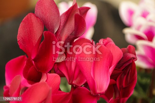 istock Pink Cyclamen flower in the garden 1299278121