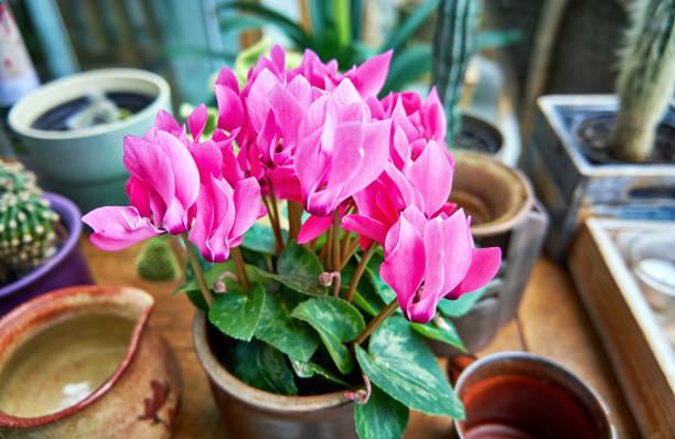 fleurs roses de cyclamen dans un pot de fleur. - couleur des végétaux photos et images de collection