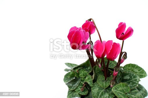 pink cyclamen flowers in the white background