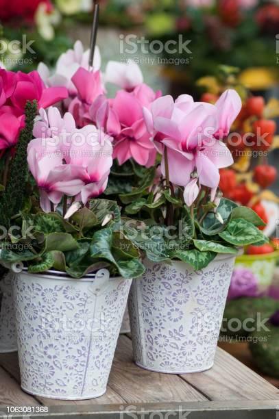 Pink cyclamen in the florist picture id1063081368?b=1&k=6&m=1063081368&s=612x612&h=h96znwckxrbaxyvaw ij aux4j zx1domwxxjce56gs=