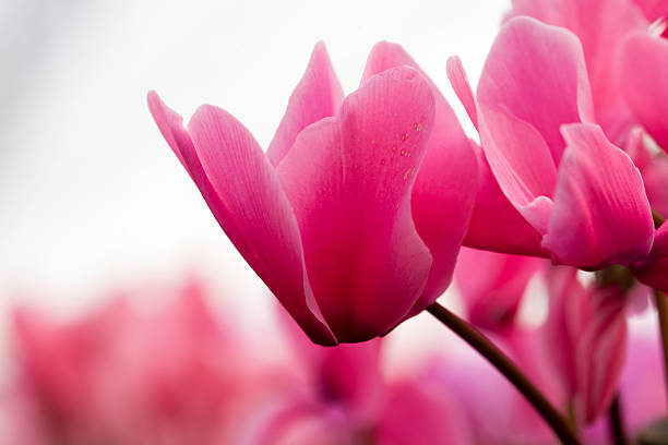 pink cyclamen stock photo