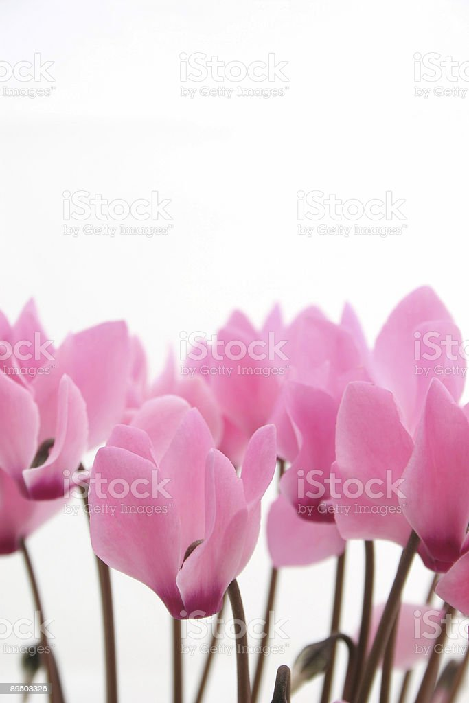 Pink cyclamen royalty-free stock photo
