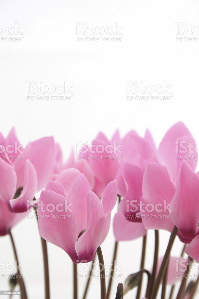 Pink cyclamen stock photo