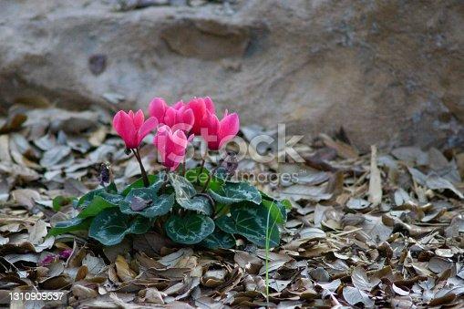 istock Pink Cyclamen Plant 1310909537