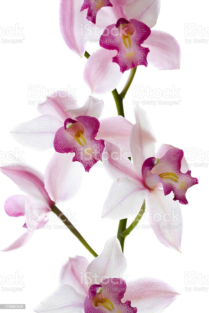 Pink Cymbidium orchid stock photo