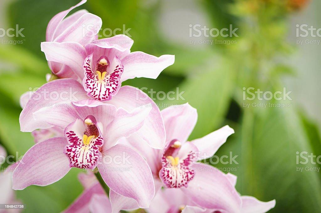 Pink Cymbidium Orchid stock photo