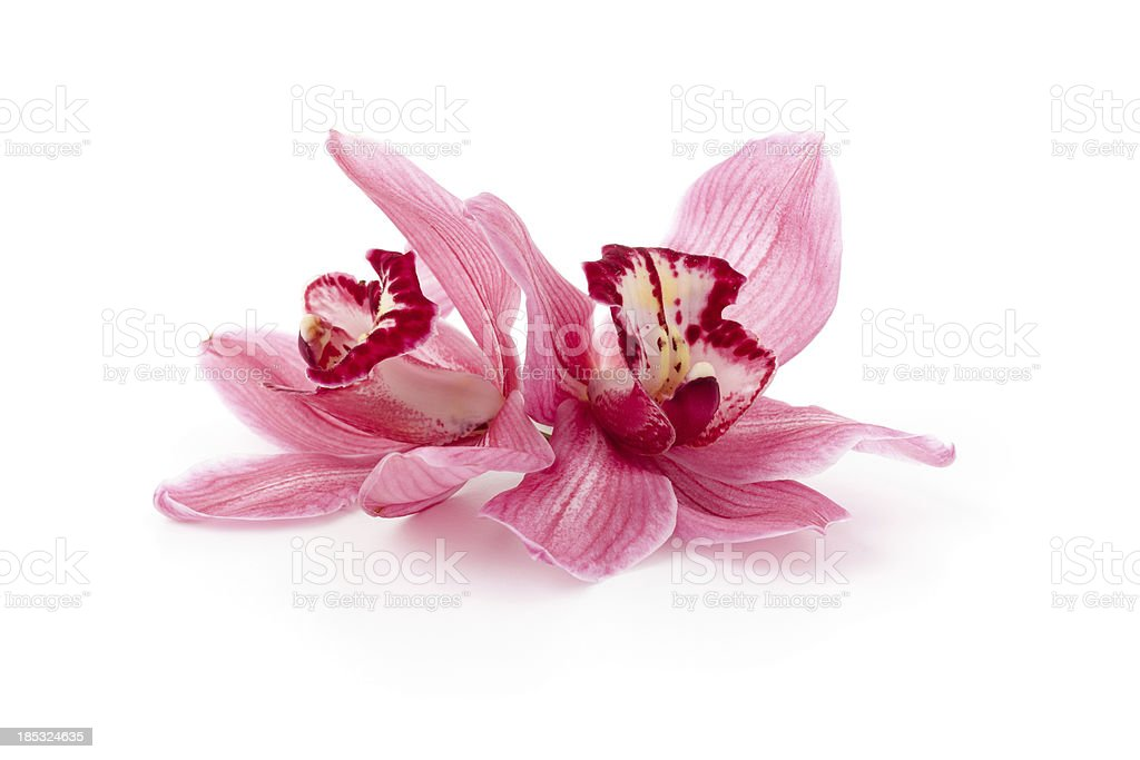Pink Cymbidium Orchids stock photo