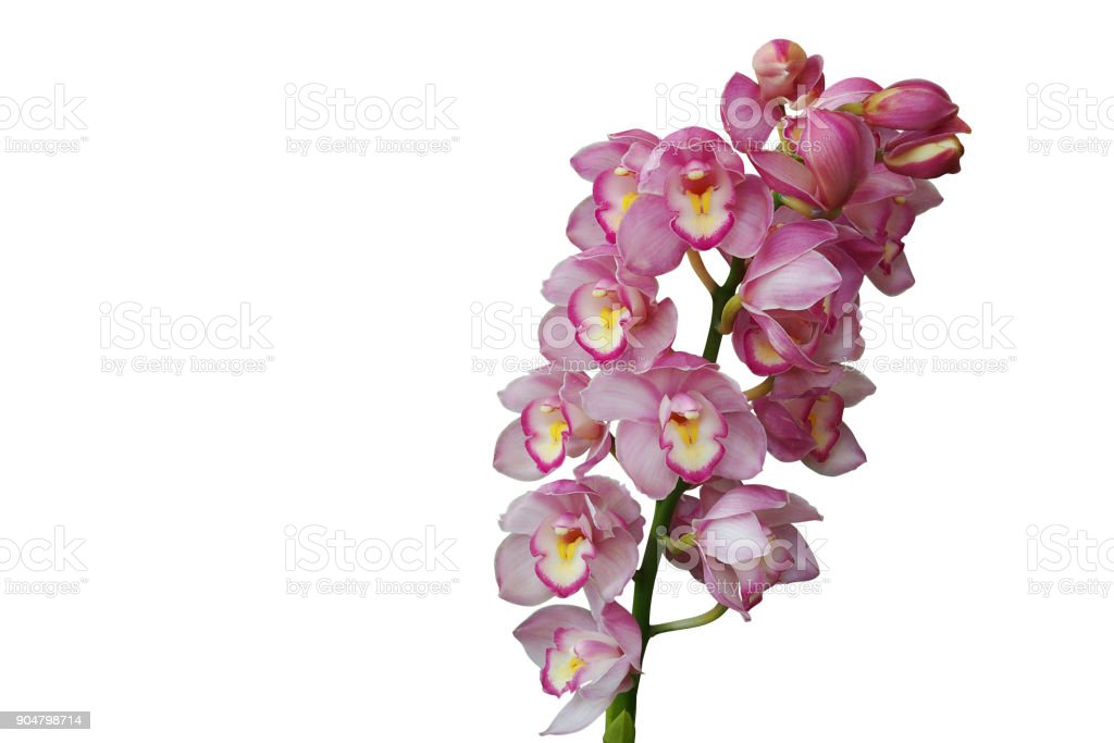 Pink cymbidium orchids plant tropical flower isolated on white background, clipping path included.