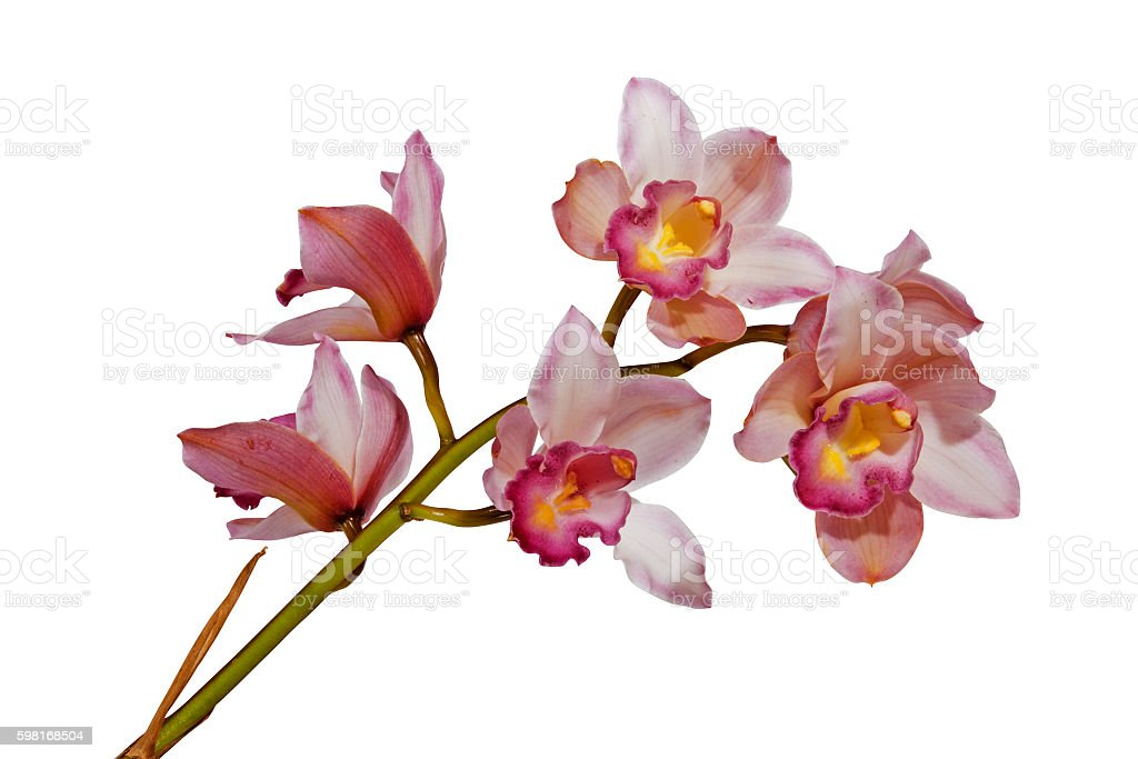 Pink Cymbiudium Orchids with Green Stem on White Background stock photo