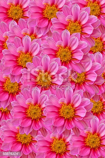 Pink dahilia flowers background