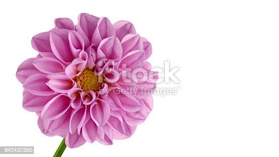istock Pink Dahlia big on a white background 942432350
