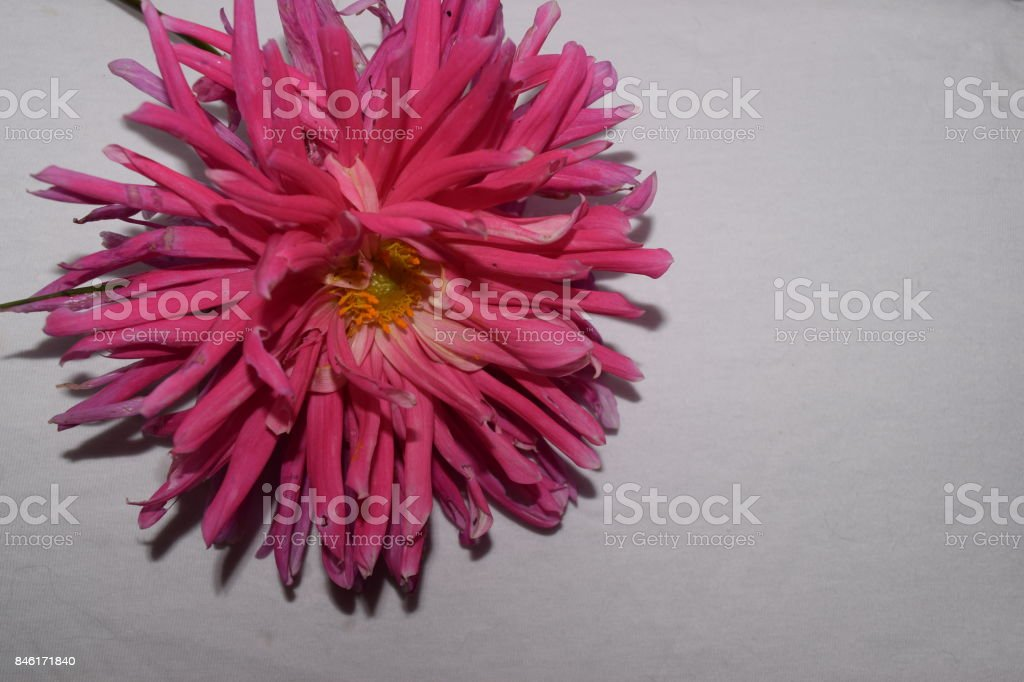 Pink Dahlia Flower Bloom with white background stock photo