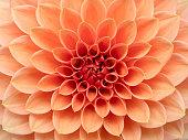 Pink Dahlia flower macro image